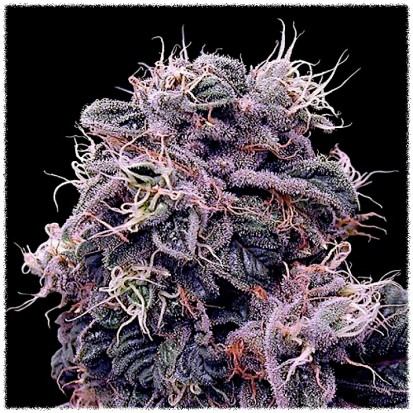 Семена Auto Blueberry fem. Украина (Errors-Seeds)