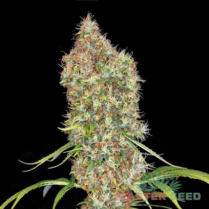 Семена Auto Super Bud fem. Испания (Master-Seed)