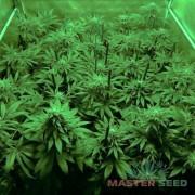 Afghan Kush (Master-Seed)