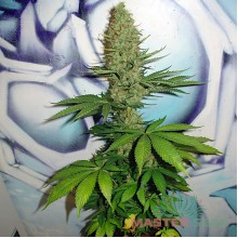 Big Bud (Master-Seed)