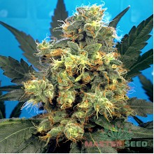 Bubble Gum (Master-Seed)